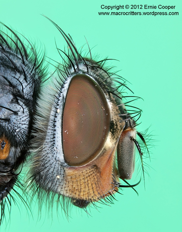 Portrait of a blue bottle fly (Calliphora vicina) compiled from a stack of 68 images