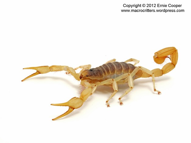 desert hairy scorpion 2 copyright ernie cooper 2012_filtered