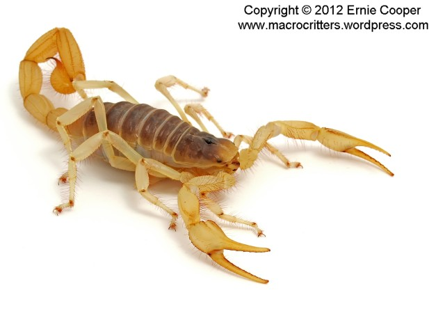 desert hairy scorpion 3 copyright ernie cooper 2012_filtered