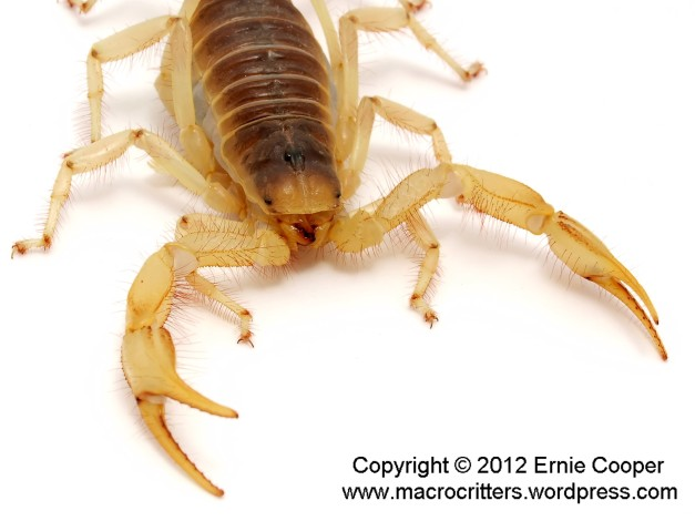 desert hairy scorpion 4 copyright ernie cooper 2012_filtered