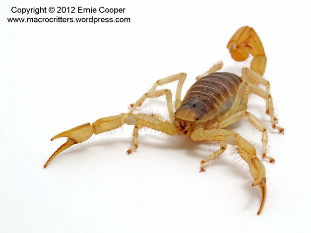 desert hairy scorpion 7 copyright ernie cooper 2012_filtered