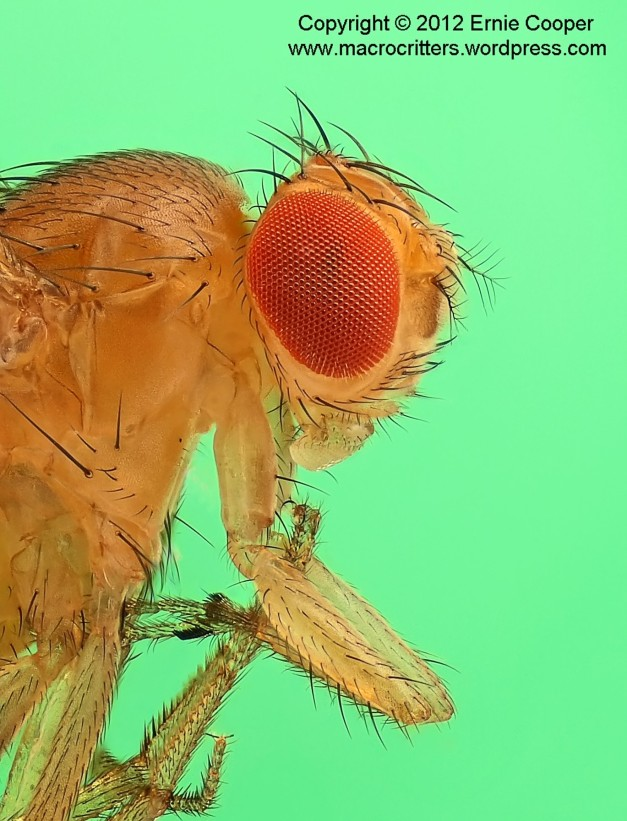 Portrait of a fruit fly (Drosophila) cropped from a photo compiled from a stack of images