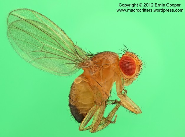 Photo of a fruit fly (Drosophila) compiled from a stack of images using Zerene stacker. The images were taken with an Olympus e-620 DSLR using a Cnscope 5X microscope objective mounted on a vintage Olympus auto bellows