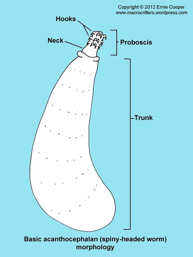 Simple diagram showing the basic morphology of an acanthocephalan (spiny-headed worm)