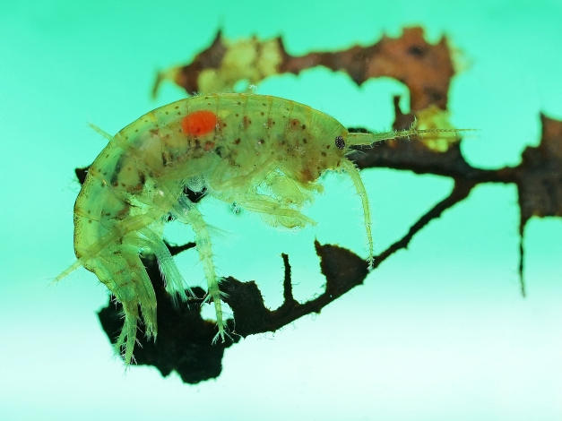 Side view of a freshwater amphipod (Gammarus lacustris) with a very distinct red spot; photographed as it rested on a submerged decayed leaf (in an aquarium)