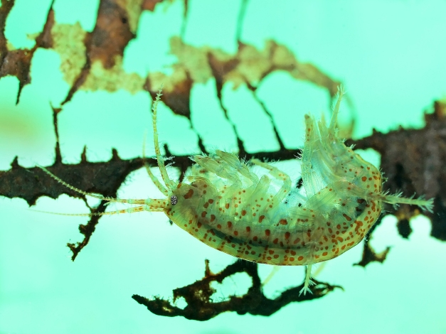 Side view of a spotted freshwater amphipod (Gammarus lacustris) photographed as it rested upside-down on a submerged decayed leaf (in an aquarium)