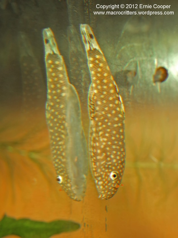 Side view of a hillstream loach as it clings to the aquarium glass
