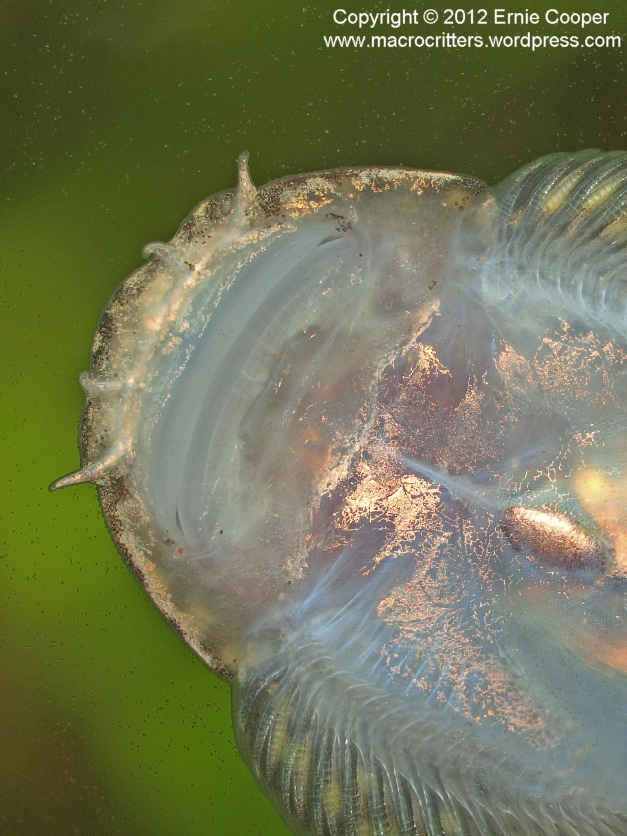 Underside of the head of a hillstream loach clinging to the surface of a glass aquarium