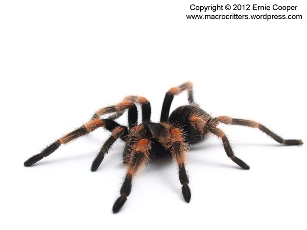 brachypelma 2 copyright ernie cooper 2012_filtered_filtered
