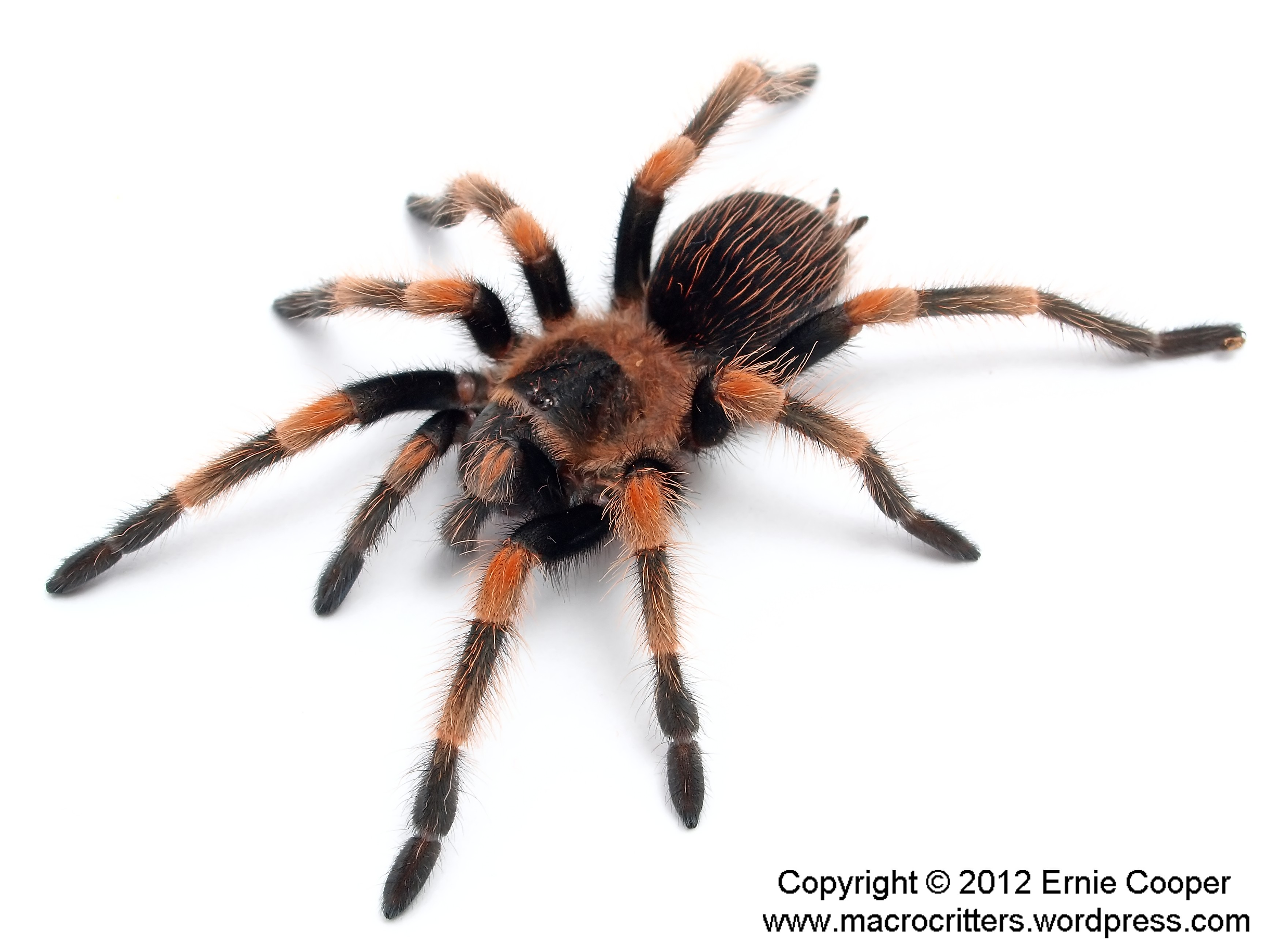 Tarantula Species Macrocritters