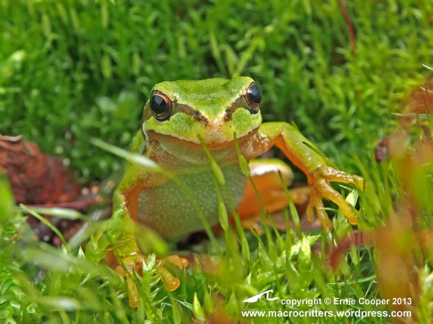 Pacific tree frog (Pseudacris regilla) on moss