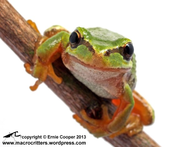 In-studio (white box) photograph of a Pacific tree frog as it peers into the camera lens
