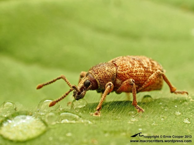 Unidentified weevil, pausing to take a drink from a drop of water
