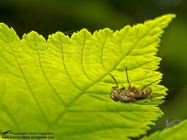 Fly (Muscidae) resting undernath a leaf on Deas Island, june 2013