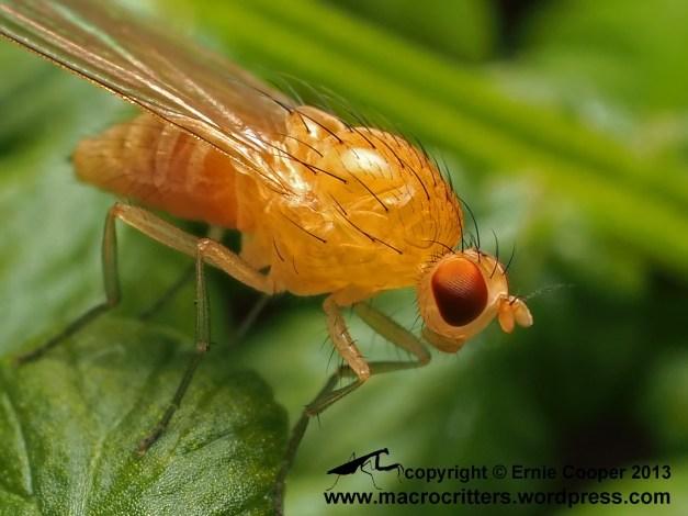 Tightly cropped photo of a Meiosimyza sp. fly resting on a bracken fern