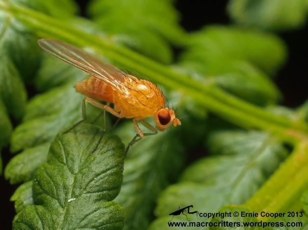 Small fly (Meiosimyza sp.) resting on a bracken fern