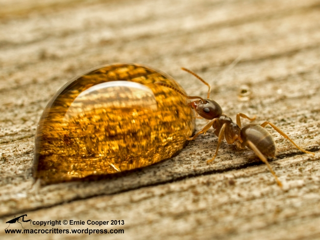 "Ant drinking from a drop of maple syrup. This is the ""small"" sized species in my garden"
