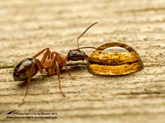 """Ant drinking from a drop of maple syrup. This is the """"medium"""" sized species in my garden"""