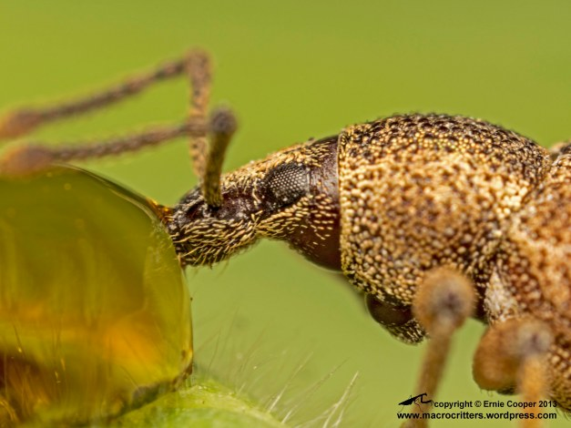 Unidentified weevil  drinking from a drop of maple syrup: photographed with a Nikkor 50mm F2.8 enlarger lens reversed on an Olympus OM telescopic auto extension tube 65-116 and Olympus OM-D EM-5 body