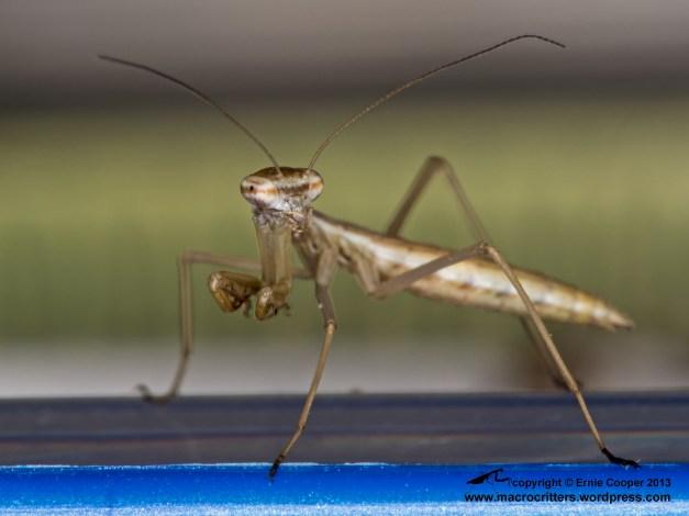 Newly hatched Chinese mantis (Tenodera sinensis)