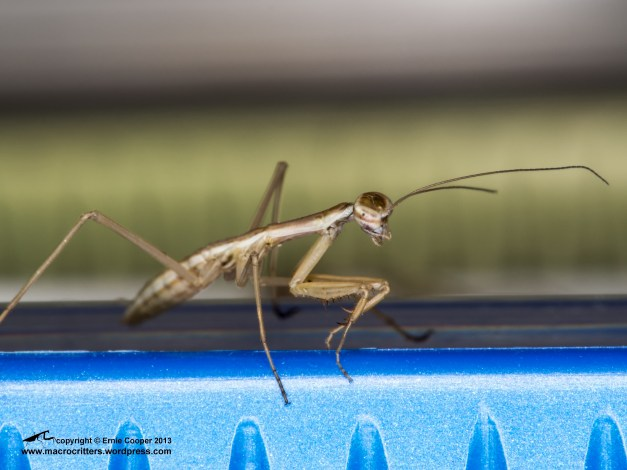 Newly hatched Chinese mantis (Tenodera sinensis) searching for prey