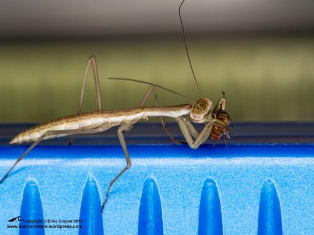 Newly hatched Chinese mantis (Tenodera sinensis) enjoying a fruit fly (Drosophila melanogaster)
