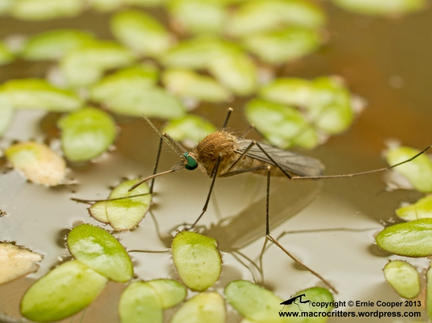 Mosquito photographed just after it had emerged from its aquatic pupa and was standing on the water surface readying itself to fly away