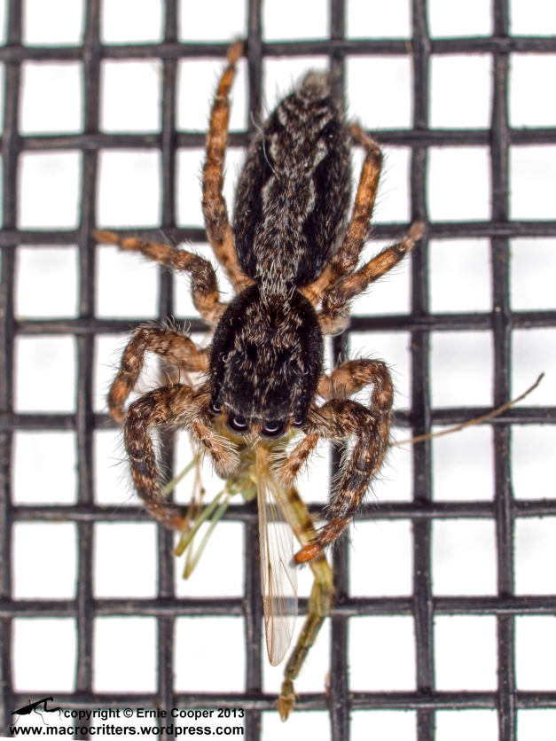 (Male?) zebra jumping spider (Salticus scenicus) on window screen with a freshly captured mosquito. The white background was created by placing a sheet of white paper on the glass behind the screen.