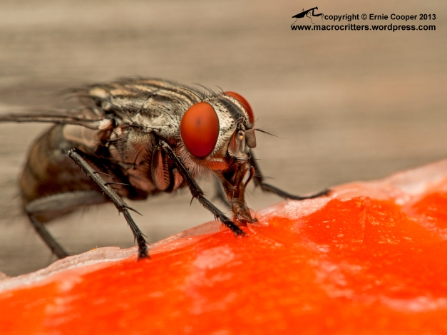 A flesh fly (Sarcophaga sp.) feeding on a salmon carcass.