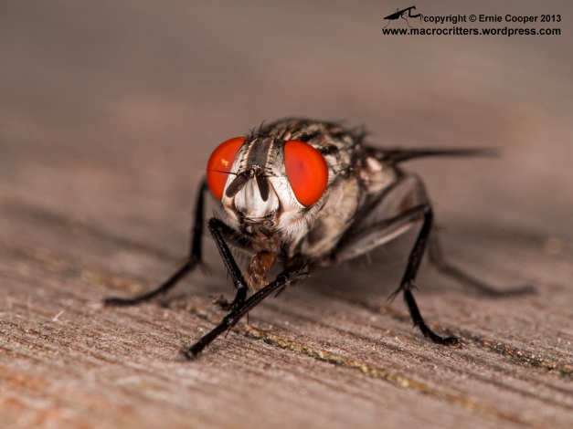 A flesh fly (Sarcophaga sp.) cleaning itself after feasting for a while on a salmon carcass. Such gorgeous eyes…!