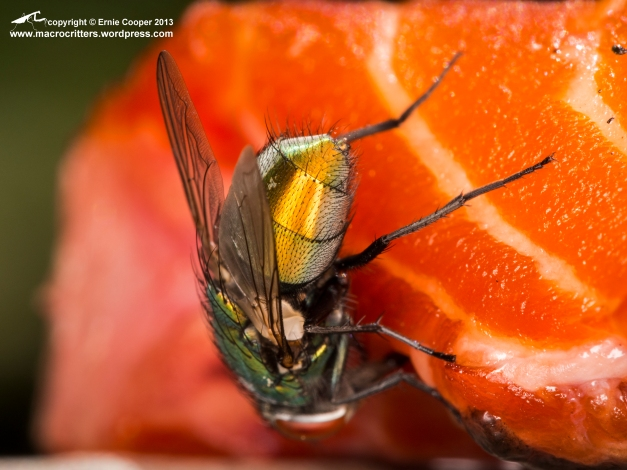 I don't usually like pictures of critters that don't show the eyes, but this is an exception. Even from behind greenbottle (Lucilia sericata) flies are pretty!