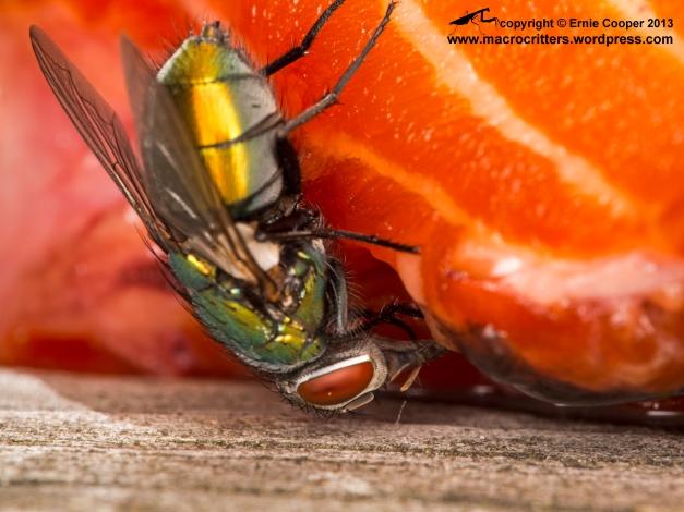 Greenbottle fly (Lucilia sericata) feeding on a sockeye salmon carcass: getting down underneath where the really good wet goo is!