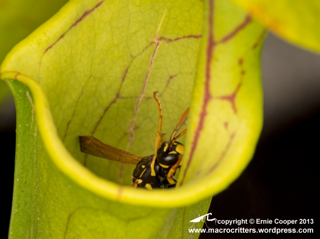 And there it goes...a yellow jacket wasp (Vespula vulgaris) has lost its footing and is sliding down into the trap of a yellow pitcher plant (Sarracenia flava). The wasp will be digested to provide nutrients for the plant.  Unfortunately I missed the focus on the wasp as it slipped to its doom...but the picture still tells the story.