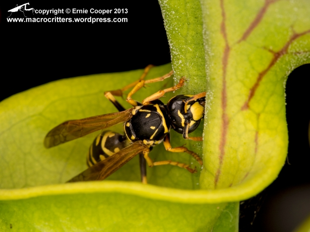 A yellow jacket wasp (Vespula vulgaris) trying to feed on tiny droplets of nectar secreted on the underside of the operculum of a yellow pitcher plant (Sarracenia flava). The wasp has a very precarious hold on the slippery lip of the plant's funnel shaped leaf, which forms an escape-proof trap containing digestive enzymes. You can tell that this isn't going to end well...at least not for the wasp. The wasp was approximately 15 mm (0.6 in) long.