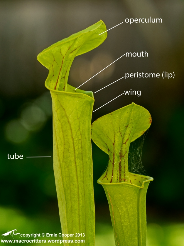 Yellow pitcher plant (Sarracenia flava). Note that an enterprising spider has built a web on the pitcher on the right.