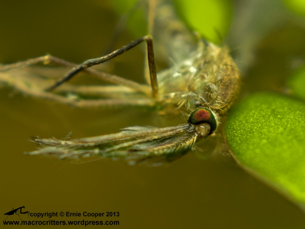 A dead mosquito floating on the surface of a pond. Photographed with an Olympus OM-D E-M5 and El Nikkor 50mm F2.8 enlarger lens adapted to a vintage Olympus OM telescopic extension tube. Magnification=approx. 3x.