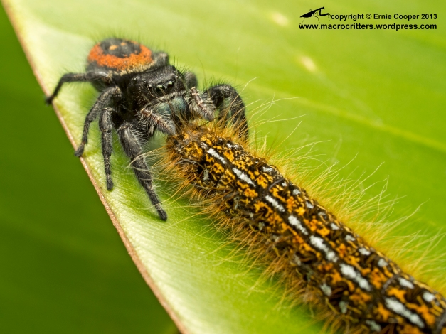 A boreal jumping spider (Phidippus borealis) feeding on a western tent caterpillar (Malacosoma californicum).