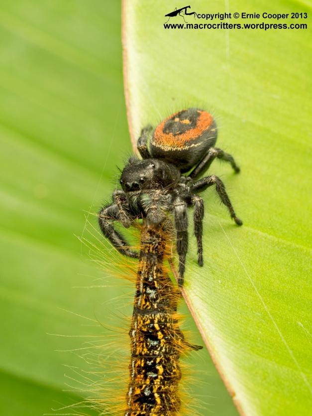 A boreal jumping spider (Phidippus borealis) feeding on a western tent caterpillar (Malacosoma californicum).