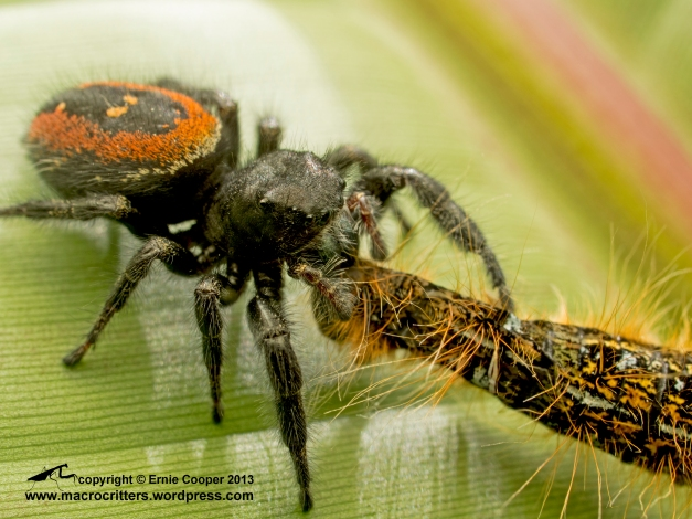 A boreal jumping spider (Phidippus borealis) feeding on a western tent caterpillar (Malacosoma californicum). The spider had been feeding on the caterpillar for about 30 minutes and you can see the corpse is shrinking and collapsing as the spider consumes its tissues.