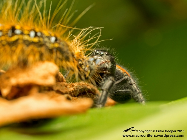 A boreal jumping spider (Phidippus borealis) feeding on a western tent caterpillar (Malacosoma californicum). Talk about a mouthful!