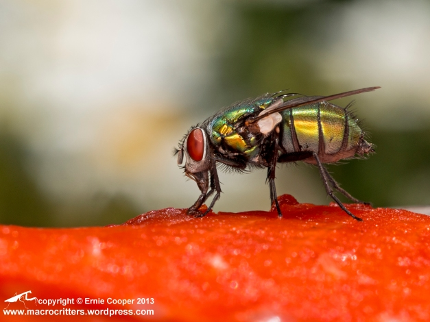 Greenbottle fly (Lucilia sericata) feeding on a sockeye salmon carcass