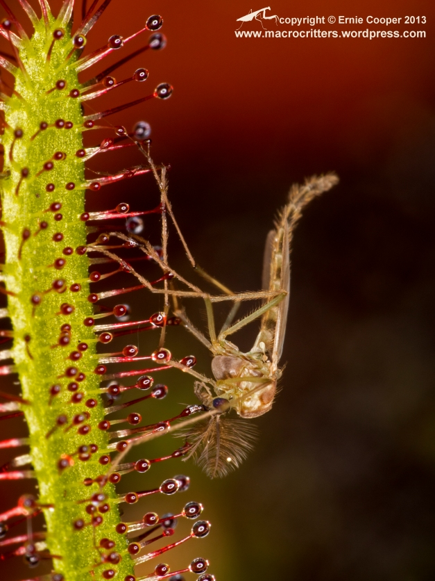 Non-biting midge (chironomid) that has been trapped by a cape sundew (Drosera capensis).