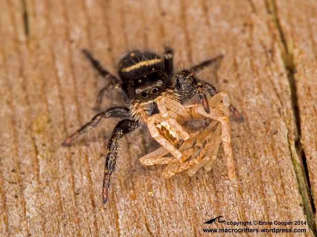 Juvenile Phiddipus jumping spider feeding on another spider (possibly a philodromid crab spider). Photographed with a Zuiko 6omm micro 4/3 macro lens