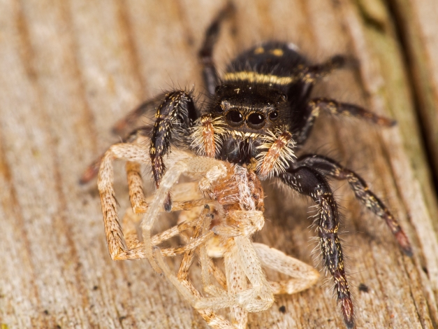 Juvenile Phiddipus jumping spider feeding on another spider (possibly a philodromid crab spider). Photographed with a Zuiko 6omm micro 4/3 macro lens and 16mm + 10mm extension tubes.