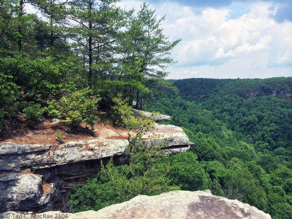 Virginia pine on bluff tops | South Cumberland State Park, Tennessee