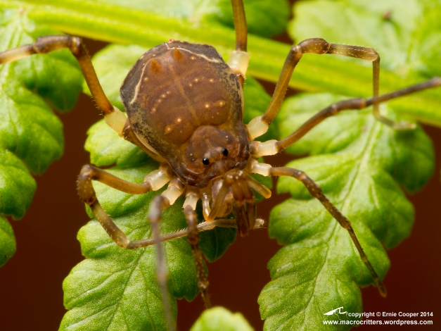 Juvenile Central American harvestman (Acromares vittatum) cleaning the tip of one of its legs. The harvestman had a leg span of approx. 15 mm.