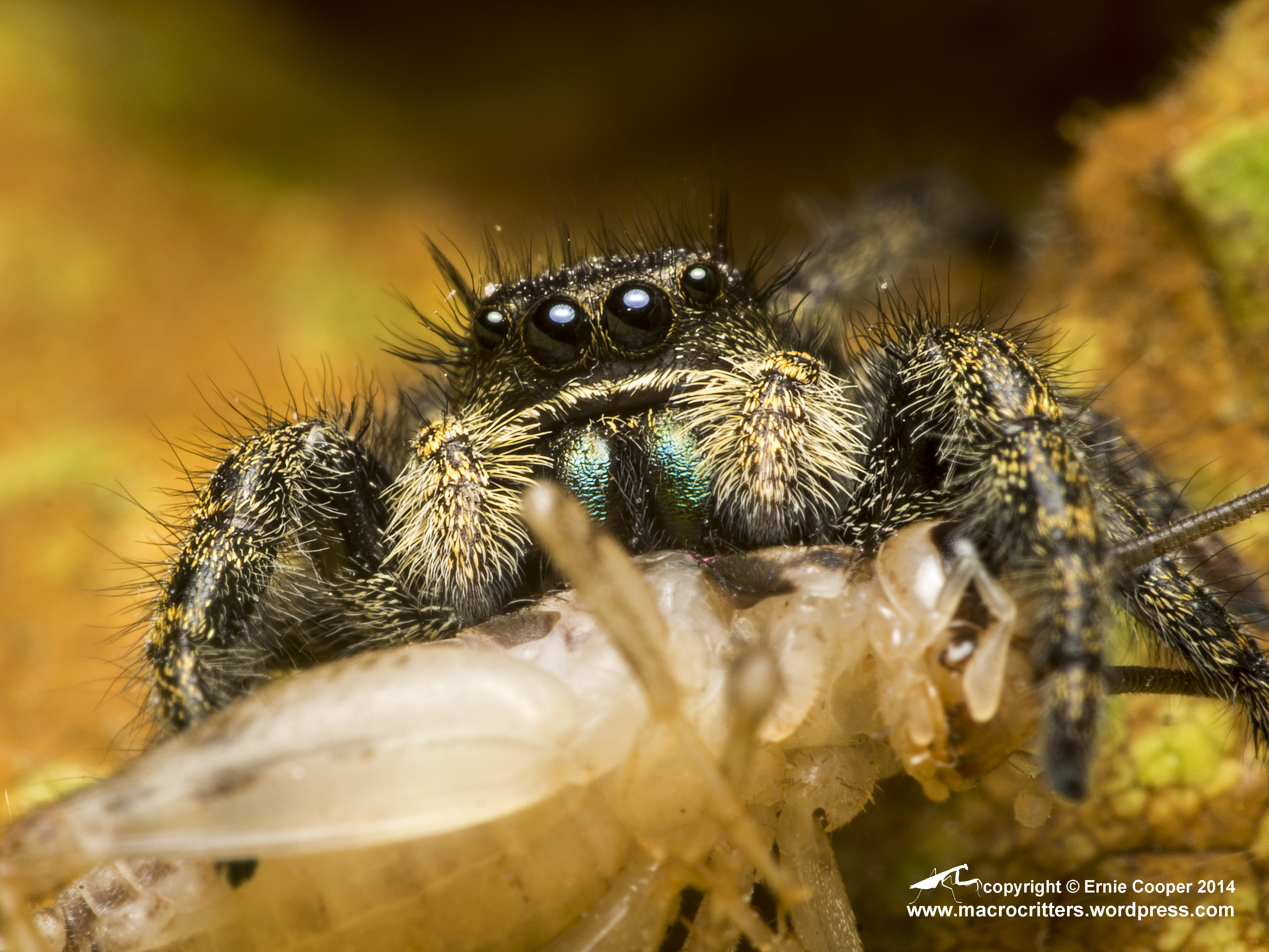jumping spider macrocritters
