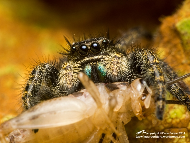 Jumping spider (Phidippus sp.) feeding on a two-week old house cricket (Acheta domesticus). This photo was taken with a Zuiko 60mm macro lens + two extension tubes (10mm + 16mm). The magnification is approximately 1.5:1.